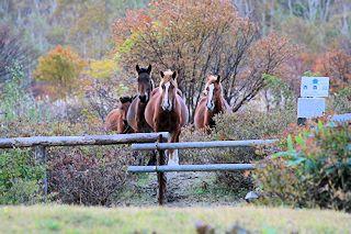 ガイドさんの呼び声を聞いて高原で放牧されている馬が走ってきました。