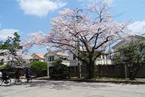 満開の桜が新入生を迎えます